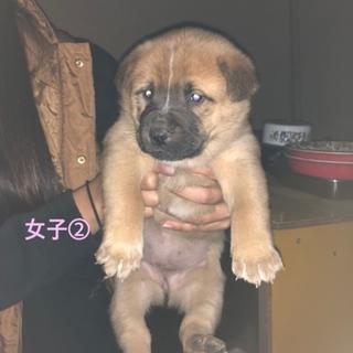 生後1ヶ月中型犬子犬 ♀②