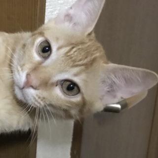 スリゴロお膝猫6ヶ月★可愛いニコライ茶トラ♂