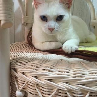 青い眼の綺麗な白猫ちゃん
