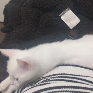 生後4ヶ月弱の真っ白な子猫ちゃん