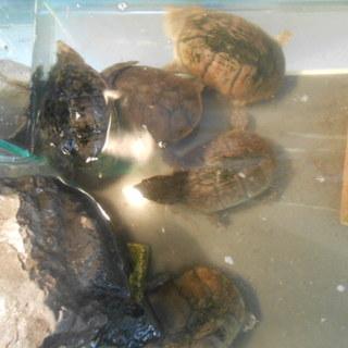ミシシッピニオイガメおおよそ10歳↑5匹