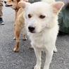 チワポメ風の小さい抱き犬、マンションでもOK! サムネイル4