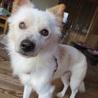 チワポメ風の小さい抱き犬、マンションでもOK! サムネイル5