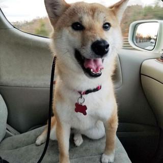 柴犬♀推定6歳のシノ (近畿)