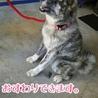 幼さが残る秋田犬『不二子』ちゃん サムネイル3