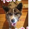 幼さが残る秋田犬『不二子』ちゃん サムネイル4