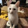 小柄で耳の大きな白猫♀