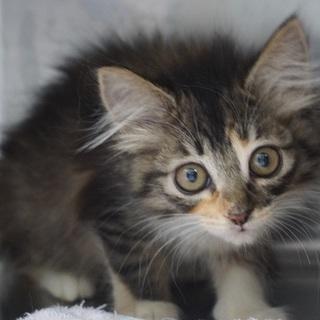 まん丸お目目のフワフワ長毛子猫