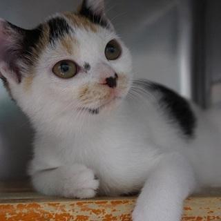 不思議な魅力のちっちゃかわいい三毛子猫