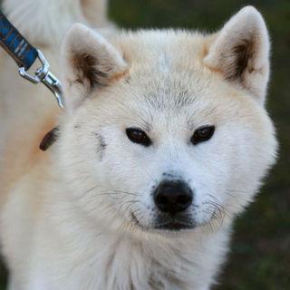 ブサ可愛い秋田犬