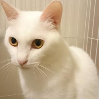 臆病だけどすごく甘えたがりな白猫4歳♀