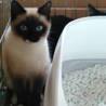 緊急!綺麗なシャム猫の女の子「あずき」