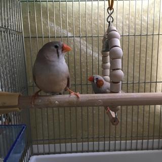 錦華鳥ペア&オス1匹の里親を募集しております。