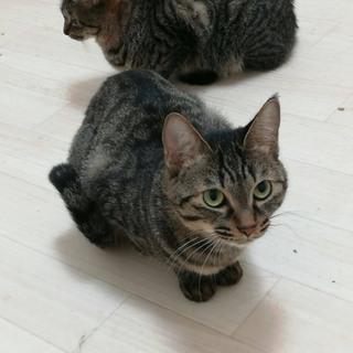 双子キジトラ