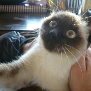 美猫シャムちゃん