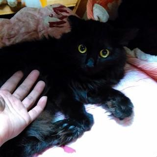 苦難を乗り越えてきた黒猫長毛サチちゃんに幸せを♪