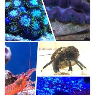 海水 シャコガイ、エビ、ヤドカリ、マメスナセット