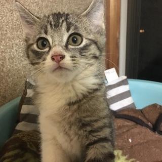 キジトラ★子猫2ヶ月★オス★人なつこいです