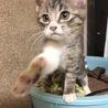 キジトラ★子猫2ヶ月★オス★人なつこいです サムネイル2