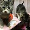 キジトラ★子猫2ヶ月★オス★人なつこいです サムネイル5