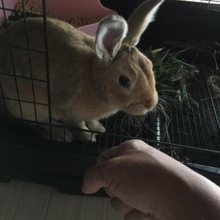 ミニウサギ1才の男の子