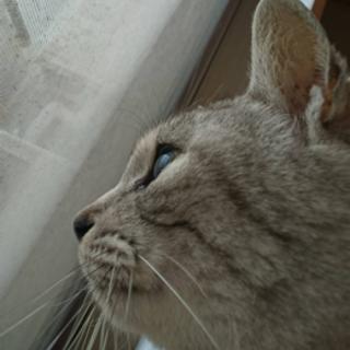 グレーな美猫ポッキーぽちこ人なれOK
