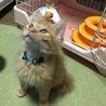 茶トラ長毛レスキュー仔猫
