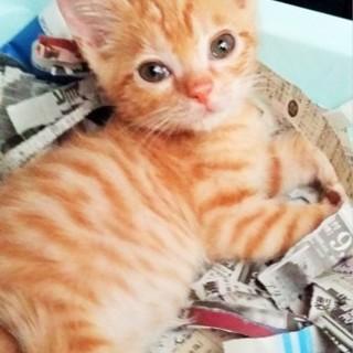ほっくり癒し系チャトラ子猫 オス