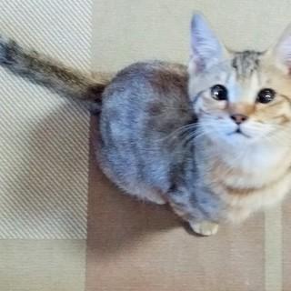 珍しい キジチャトラ柄子猫やんちゃで遊び好き