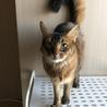 ソマリ成猫メス