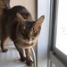 ソマリ成猫メス サムネイル5