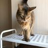 ソマリ成猫メス サムネイル6