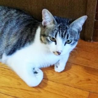 美猫 キジ白めす 1歳 人馴れ済