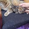 生後1ヶ月位のメスの子猫もらって下さい!