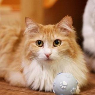 【モアナ】茶シロ+長毛=美猫!