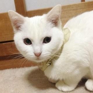 【1/7東日本橋】真っ白子猫の小雪ちゃん♡
