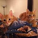 ◎甘えた!!美猫!!茶トラと麦わら3兄妹!!◎