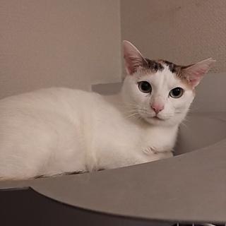 ◎美三毛猫さんです♪1歳半くらいの穏やか女子◎
