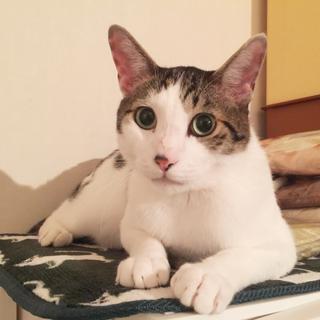 甘ったれ癒し猫 サバ白♂