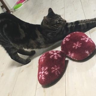 甘えん坊マンクス猫