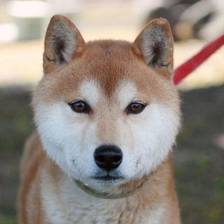 ハンサムな柴犬