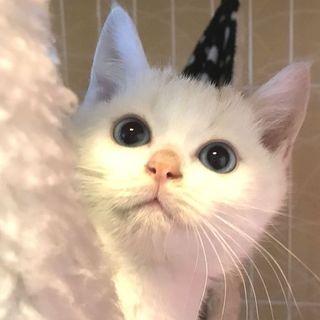 3ヶ月位!オス ブルーアイの白猫 ミルク