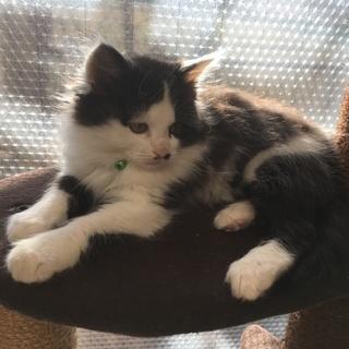 可愛い半長毛子猫二カ月