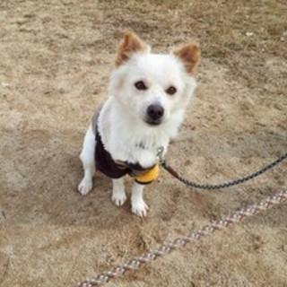 チワポメ風の小さい抱き犬、マンションでもOK!