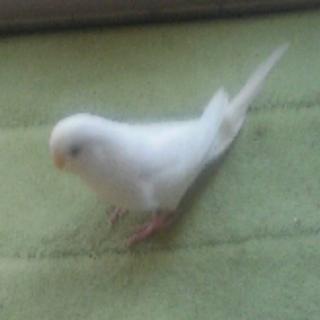 セキセイ♪アルビノ幸せの鳥、