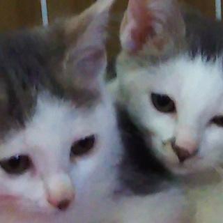 グレー白3ヶ月りんちゃんのんちゃんビビり姉妹