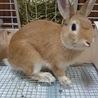 ミニウサギ3歳♂ サムネイル2