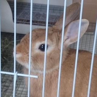 ミニウサギ3歳♂