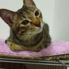 小柄臆病。お姉さん猫が大好き。きじとらめす サムネイル2