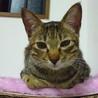 小柄臆病。お姉さん猫が大好き。きじとらめす サムネイル3